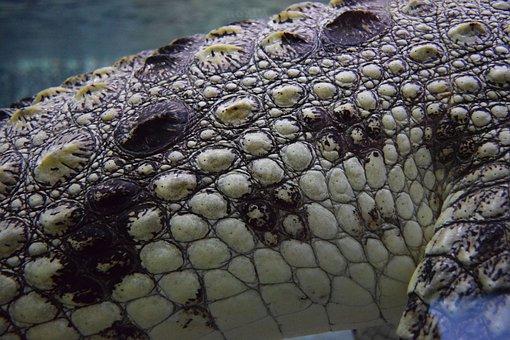 Crocodile, Alligator, Animal, Water, Texture, Skin