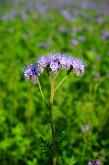 Tufted Flower, Phacelia, Water-leaf Family