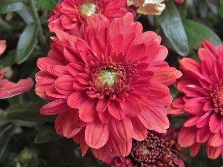 Flower, Red, White, Garden