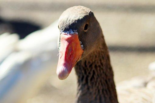 Duck, Wildlife, Nature, Bird, Animal, Wild, Feather