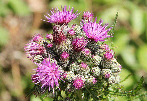 Thistle, Nature, Pink, Flower, Plant, Natural, Wild