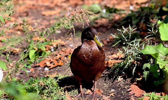 Duck, Brown, Wildlife, Feather, Bird, Outdoor, Natural
