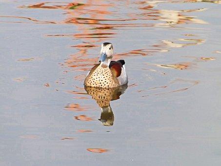 Duck, Bird, Lake, Water, Nature, Wildlife, Wild, Animal