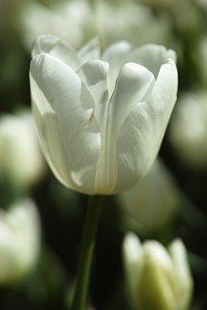 Flower, Nature, Tulips, Macro, Garden, White, Yellow