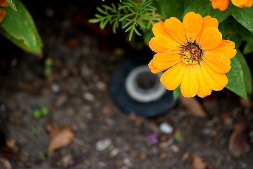 Yellow, Flower, Zinnia, Blooming, Blossom, Bloom