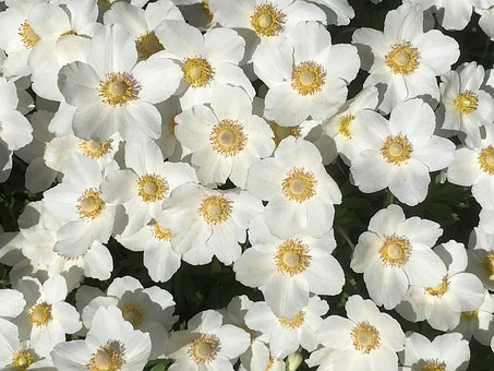 White Flowers, Garden, Bloom, Plant, Spring, Blossom