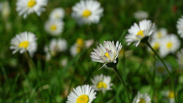 Daisy, Flower, Spring, White Flower, Perennial Daisy