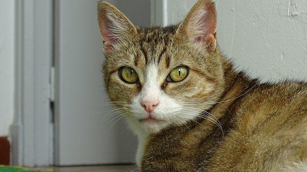 Cat, Animals, Feline, Cat Eyes, Domestic Animal