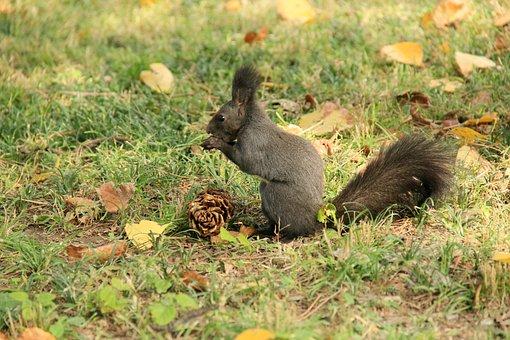Squirrel, Animal, Echinacea