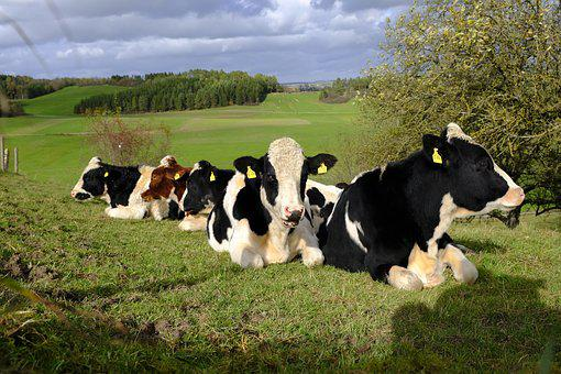 Cows, Cattle, Flock, Animals, Pasture, Nature, Meadow