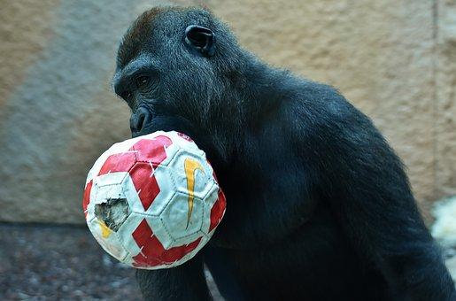Gorilla, Monkey, Play, Ball, Animal, Furry, Omnivore