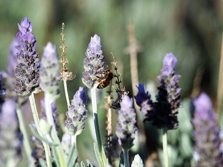 Lavender, Flowers, Purple, Bee, Plant