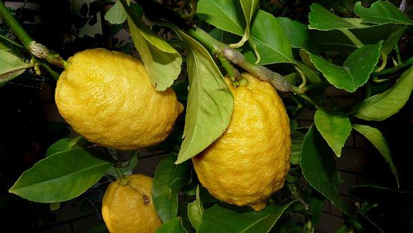 Lemon, Tree, Citrus, Fruit