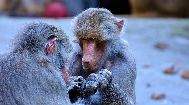 Baboons, Ape, Nature, Tiergarten, Creature