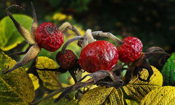 Rose Hip, Rose Apples, Nut Fruits, Fruit, Apple Rose