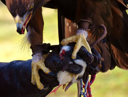 Adler, Raptor, Prey, Eat, Bird Of Prey, Animal, Fly