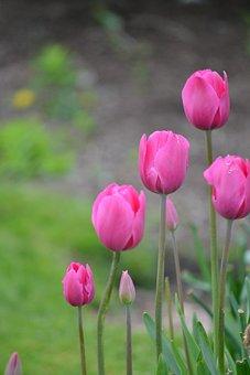 Tulips, Pink, Bloom, Flowers