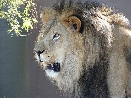 Lion, Wildlife, Animal, Zoo, African, Cat, Head, Mane