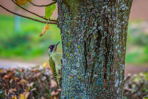Green Woodpecker, Picus Viridis, Woodpecker