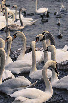 Swans, Bird, Swan, Water Bird, Animal, Birds, Nature