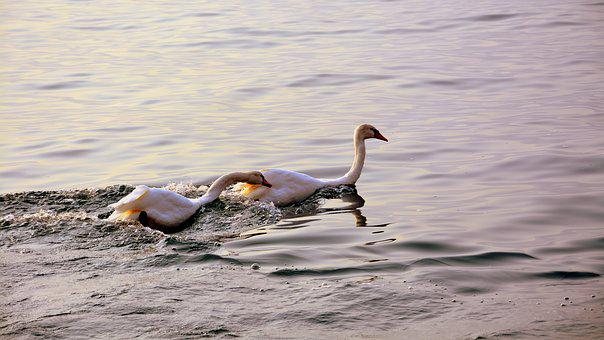 Swan, Follow, Love, Lake, Water, Animal, Swans