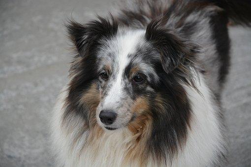 Dog, Bitch, Domestic Animal, Shetland Sheepdog