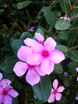 Phone Click, Catharanthus Roseus, Flower