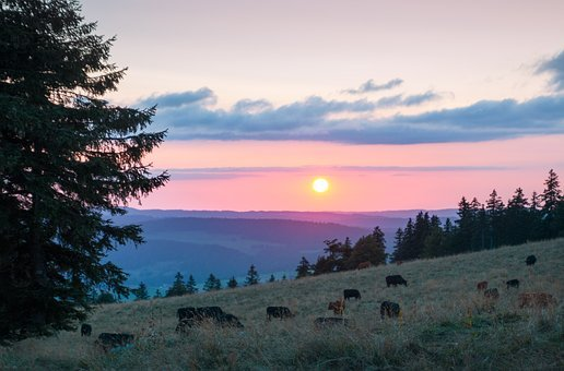Sunset, Cows, Pasture, Cheesy, Silhouettes, Meadow, Fir