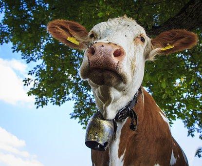 Cows, Farm, Beef, Cattle, Allgäu, Milk Cow