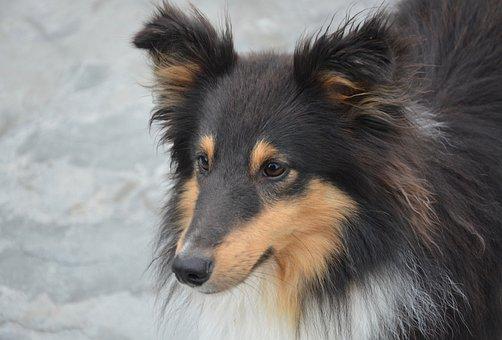 Dog, Shetland Sheepdog, Domestic Animal, Portrait, Cute