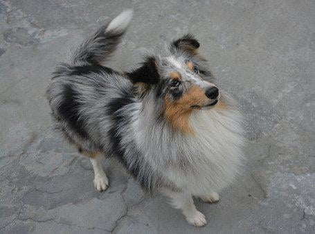 Bitch, Dog, Shetland Sheepdog, Standing, Doggie, Cute