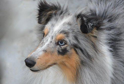 Dog, Dog Portrait, Domestic Animal, Eyes