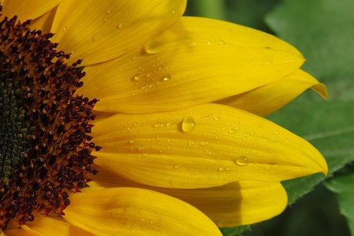 Sunflower, Flower, Yellow, Nature, Yellow Flower