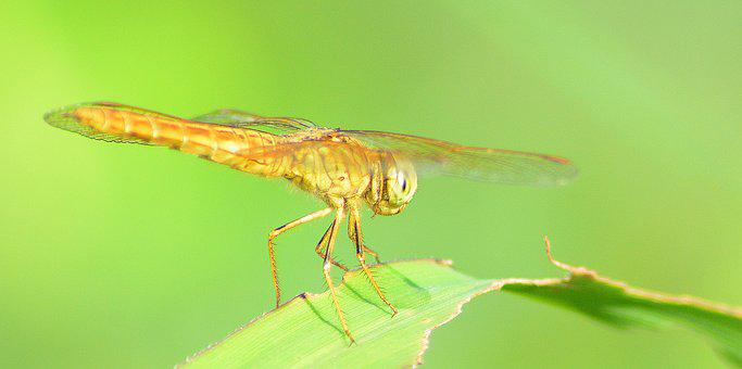 Fauna, Dragonfly, Macro, Wing, Wildlife, Insect