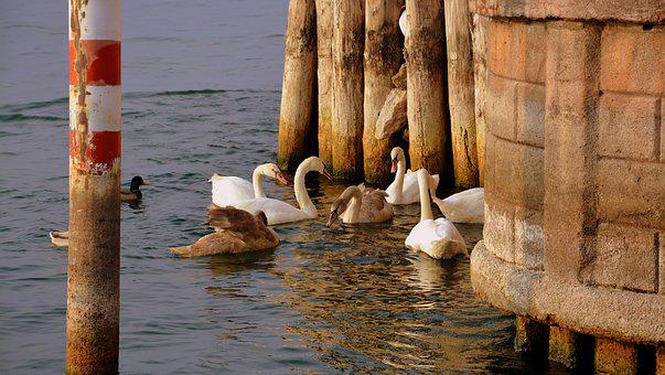 Swan, Meeting, Play, Lake, Water, Pier, Mooring