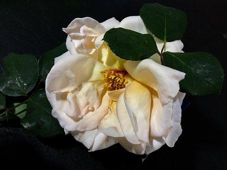 White Rose, Petals, Rosa, Flowers, White, Nature