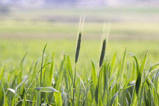 Field, Agriculture, Cereals, Harvest, Nature, Food, Rye