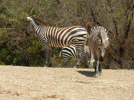 Zébre, Africa Animal, Nature, Zoo, Animals
