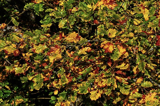 Fall Foliage, Emerge, Indian Summer, Oak Leaves