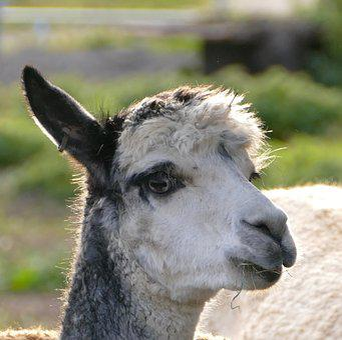 Alpaca, Livestock, Pako, Camel, Wool
