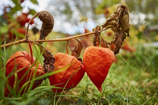 Autumn, Physalis, Orange, Lampionblume