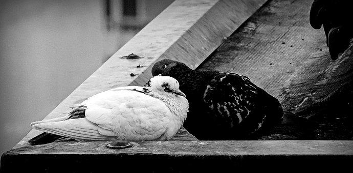 Torino, Piemonte, Italy, Roofs, Pigeon, Pigeons, Birds