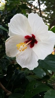 Hibiscus, White, Flower, Plant, Tropical, Nature