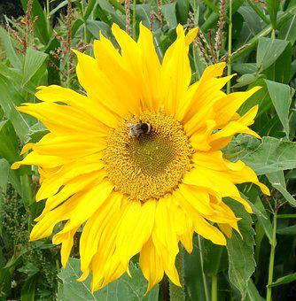 Sun Flower, Bee, Yellow Flowers, Pollination