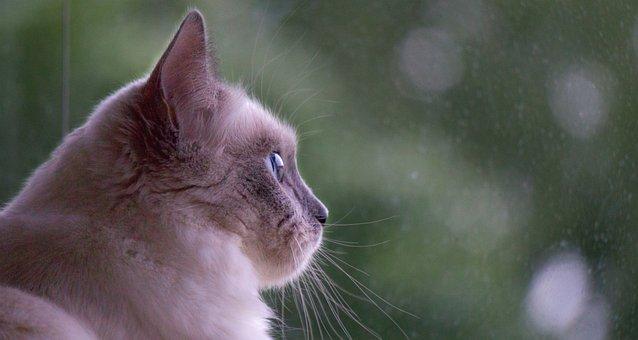 Cat, Ragdoll, Kitten, Sweet