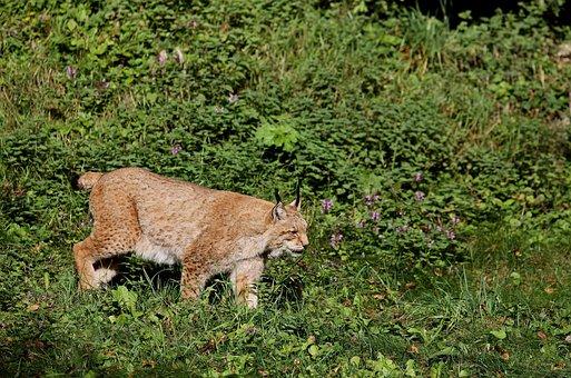 Lynx, Cat, Wildcat, Predator, Eurasischer Lynx, Nature