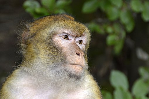 Barbary Ape, Monkey, Animal, Mammals, Nature, Mammal