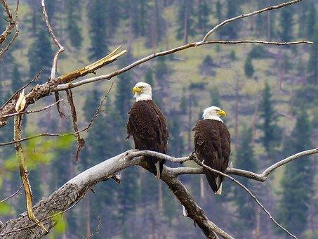 Bald Eagle, Raptor, Predator, Bird, Nature, Animal