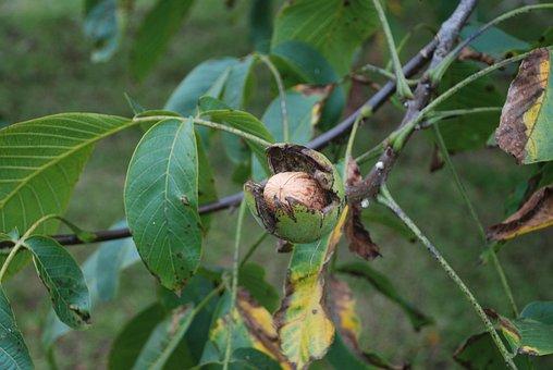 Nut, Tree, Nuts, Leaves, Autumn, Fruit, Walnut, Nogales