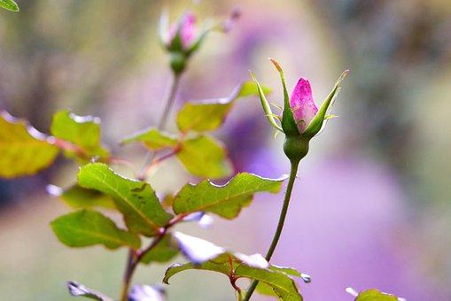 Rose, Autumn, Blossom, Bloom, Nature, Flower, Garden